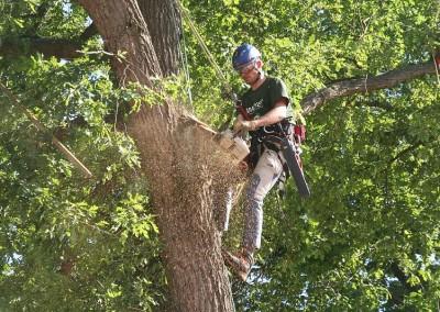 Ošetření stromů ve Vrchlabí v Hartě