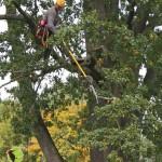 Zdravotní řez na jasanech Datel odborná péče o stromy (10)