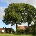 Zdravotní řez na jasanech Datel odborná péče o stromy (2)