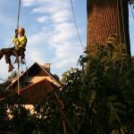 Zdravotní řez na jasanech Datel odborná péče o stromy (3)
