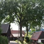 Zdravotní řez na jasanech Datel odborná péče o stromy (5)