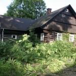 Zdravotní řez na jasanech Datel odborná péče o stromy (6)