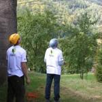 Zdravotní řez na jasanech Datel odborná péče o stromy (7)
