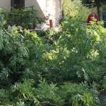 Zdravotní řez na jasanech Datel odborná péče o stromy (8)