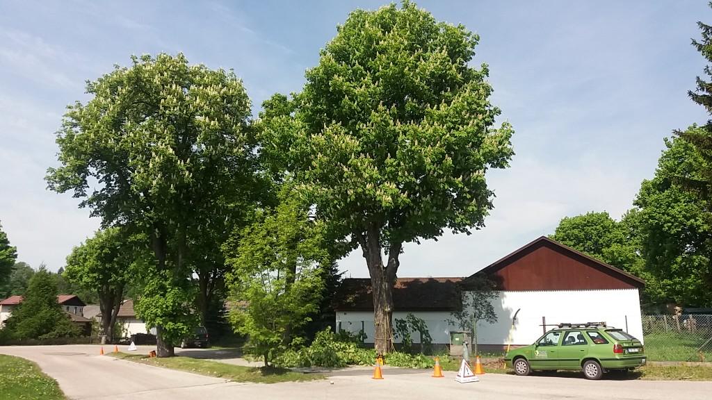 Ošetření stromů pro obec Kunčice nad Labem 2017